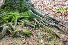 duży korzeniowy drzewo Obrazy Royalty Free