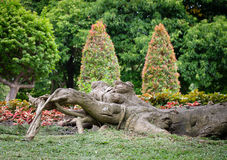 Duży korzeniowy drzewo Fotografia Stock