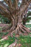 duży korzeniowy drzewo Zdjęcia Royalty Free