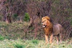 Duży kot w Afryka Kenja Zdjęcie Royalty Free