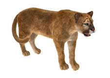duży kota puma Obrazy Royalty Free