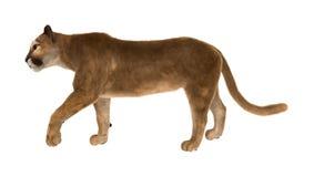 duży kota puma Zdjęcia Stock