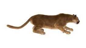 duży kota puma Zdjęcie Royalty Free