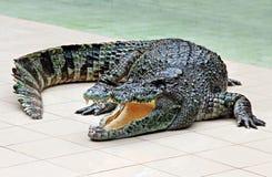 Duży krokodyl Zdjęcie Stock