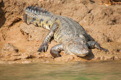 Duży krokodyl Obrazy Stock