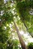 duży lasowy drzewo fotografia royalty free
