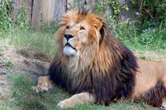 Duży lew w zoo Obraz Royalty Free
