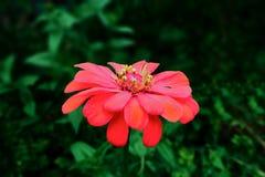 Duży menchia kwiat obraz royalty free