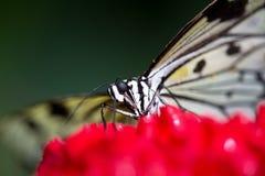 Duży motyl na kwiacie Fotografia Royalty Free