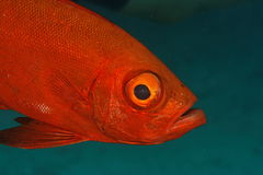 duży oka ryba hamrur priacanthus Thailand Obraz Royalty Free