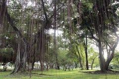 duży parkowy drzewo Zdjęcia Royalty Free