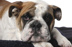 duży pies Obraz Royalty Free