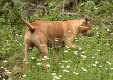 duży pies Obraz Stock