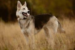 Duży pies na spacerze Zdjęcia Royalty Free