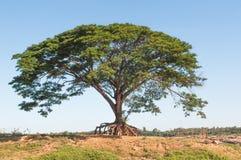 Duży podeszczowy drzewo. Fotografia Stock