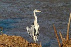 Duży popielaty czapli pobliski brzeg rzeka Tanzania, Afryka Fotografia Stock