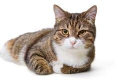 Duży popielaty kot zdjęcia stock