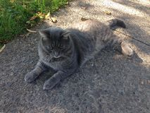 Duży popielaty kot Zdjęcie Royalty Free