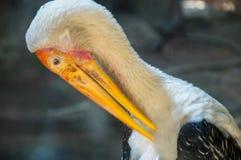 Duży ptak, pelikan Zdjęcie Stock