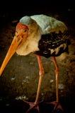 Duży ptak, pelikan Zdjęcia Stock