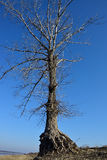 duży stary drzewo Obrazy Royalty Free