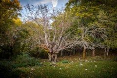 Duży stary drzewo w drewnach obraz stock