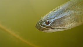 Duży straszny czerwony oko pasiasta snakehead ryba w wodzie Zdjęcia Stock