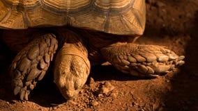 Duży Sulcata tortoise na czerwonym brudzie Obraz Stock
