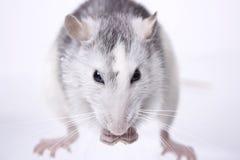 duży szczur Obrazy Stock