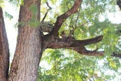 Duży tamaryndy drzewo w lesie Obrazy Royalty Free