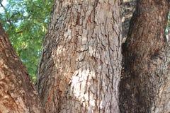 Duży tamaryndy drzewo w lesie Obraz Royalty Free