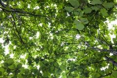 Duży tekowy drzewo Zdjęcie Royalty Free