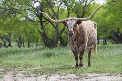 Duży Teksas longhornu byk Fotografia Stock
