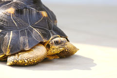 Duży Tortoise Zdjęcia Stock