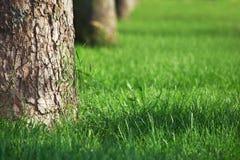 duży trawy zieleni gazonu drzewa Zdjęcia Stock