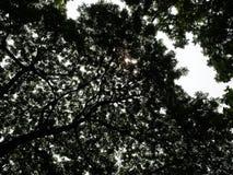 Duży wielki drzewo Chulalongkorn uniwersytet, Chamchuree Fotografia Stock