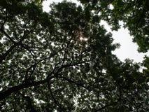 Duży wielki drzewo Chulalongkorn uniwersytet, Chamchuri Zdjęcia Royalty Free