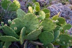 Duży zatarty opuntia kaktus Zdjęcie Stock