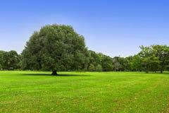 duży zielony drzewo Fotografia Stock
