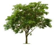 Duży zielony drzewo jest jaskrawy na bielu Zdjęcia Royalty Free