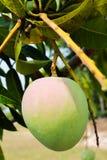 Duży zielony mango Obraz Royalty Free