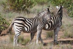 du Zebra Obrazy Stock