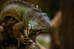 Duża iguana Fotografia Royalty Free