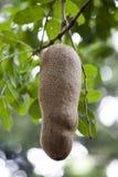 Duża owoc kiełbasiany drzewo (Kigelia africana) Mauritius Fotografia Royalty Free
