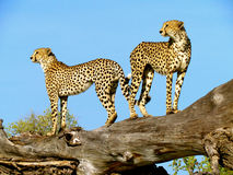 Dual Cheetah. 2 cheetahs standing on a dead tree ( Botswana Royalty Free Stock Photo