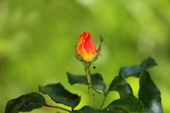 Dual color rose with yellow to red petals starting to open surrounded with thick dark green leaves and small bunch of ants. On warm summer day stock photos