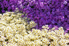 Dual colored flowers Royalty Free Stock Image