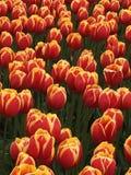 Dual colored tulips in field. Orange and yellow striped tulips in sunny farm field Stock Photo