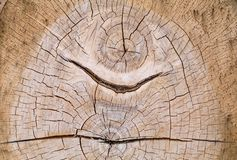 Old Oak Section Royalty Free Stock Photography