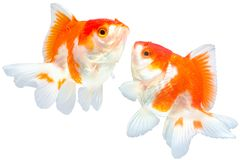 Gold fish. Dual gold fish isolated on white background with clipping path Stock Photography